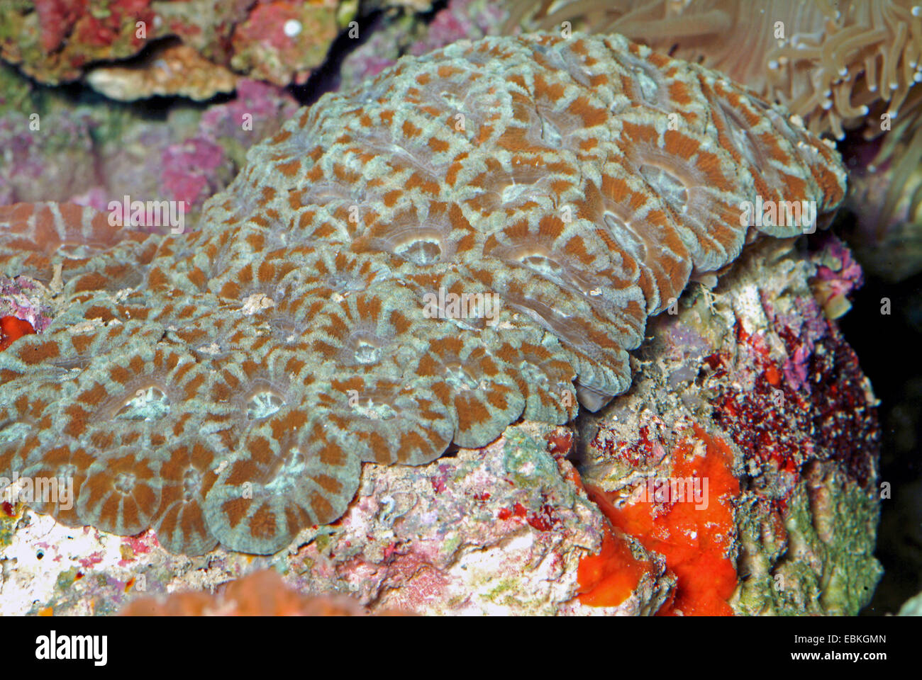 Stony coral (Acanthastrea lordhowensis), colony - Stock Image