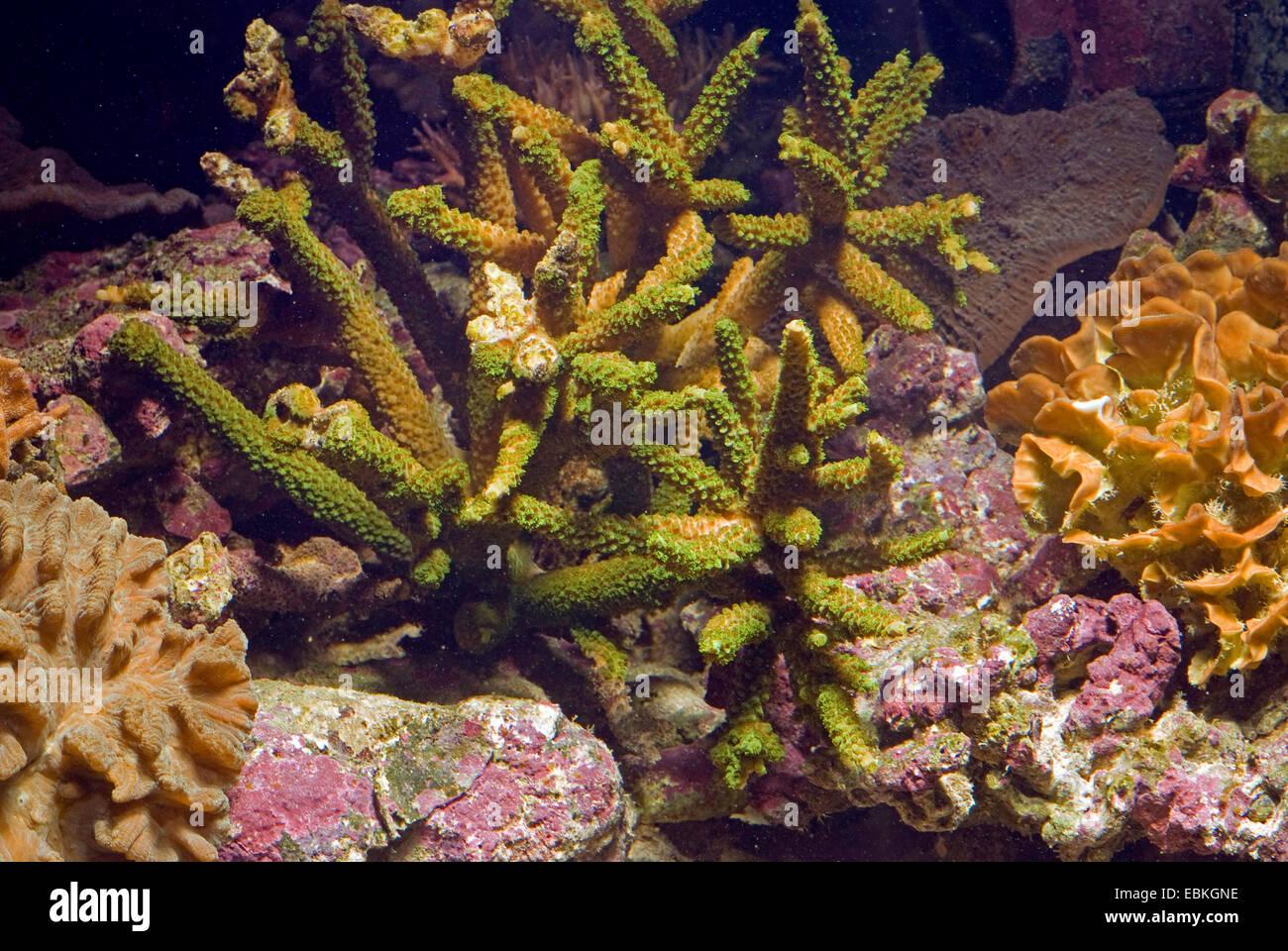 Stony coral (Acropora spec.), colony - Stock Image