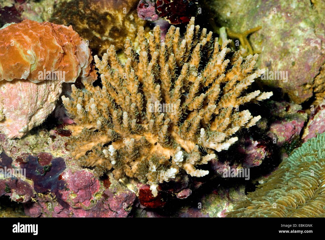 Stony coral (Acropora selago), colony - Stock Image