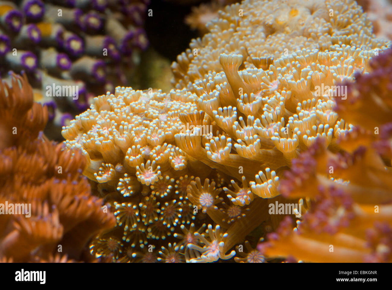 Flower Pot coral (Alveopora gigas), colony - Stock Image
