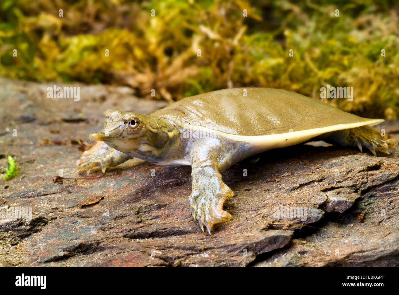 Spiny softshell turtles (Trionyx spiniferus, Apalone spinifera), on a stone - Stock Image