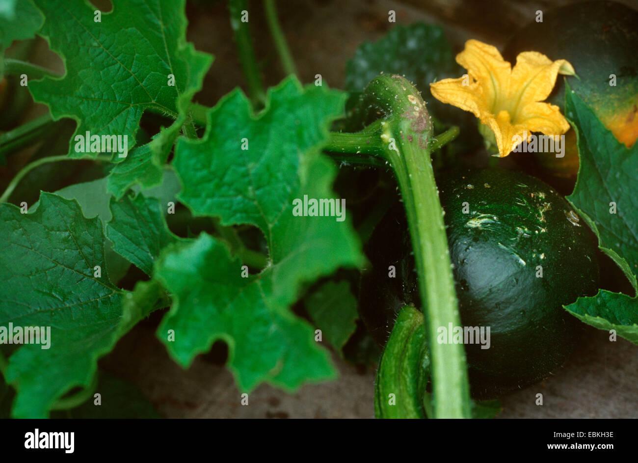 marrow, field pumpkin (Cucurbita pepo 'Little Gem', Cucurbita pepo Little Gem), with flower und Frucht - Stock Image