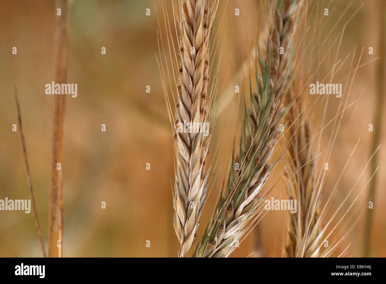 rye species (Secale vavilovii), spikes - Stock Image