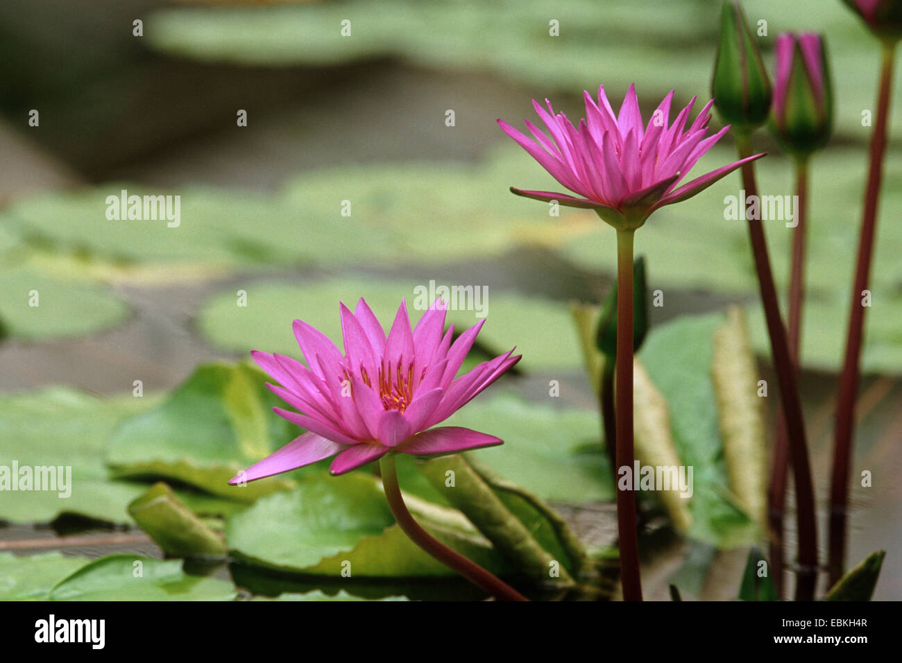 water lily, pond lily (Nymphaea 'Director George T. Moore', Nymphaea Director George T. Moore), Director - Stock Image