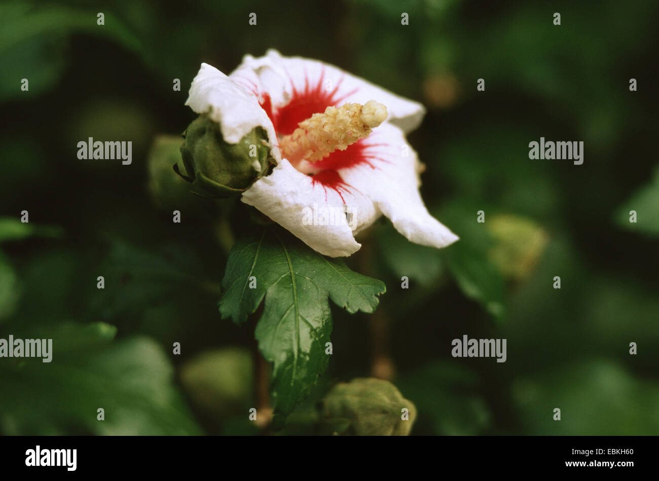 Shrubby Althaea Rose Of Sharon Hibiscus Syriacus Red Heart Stock