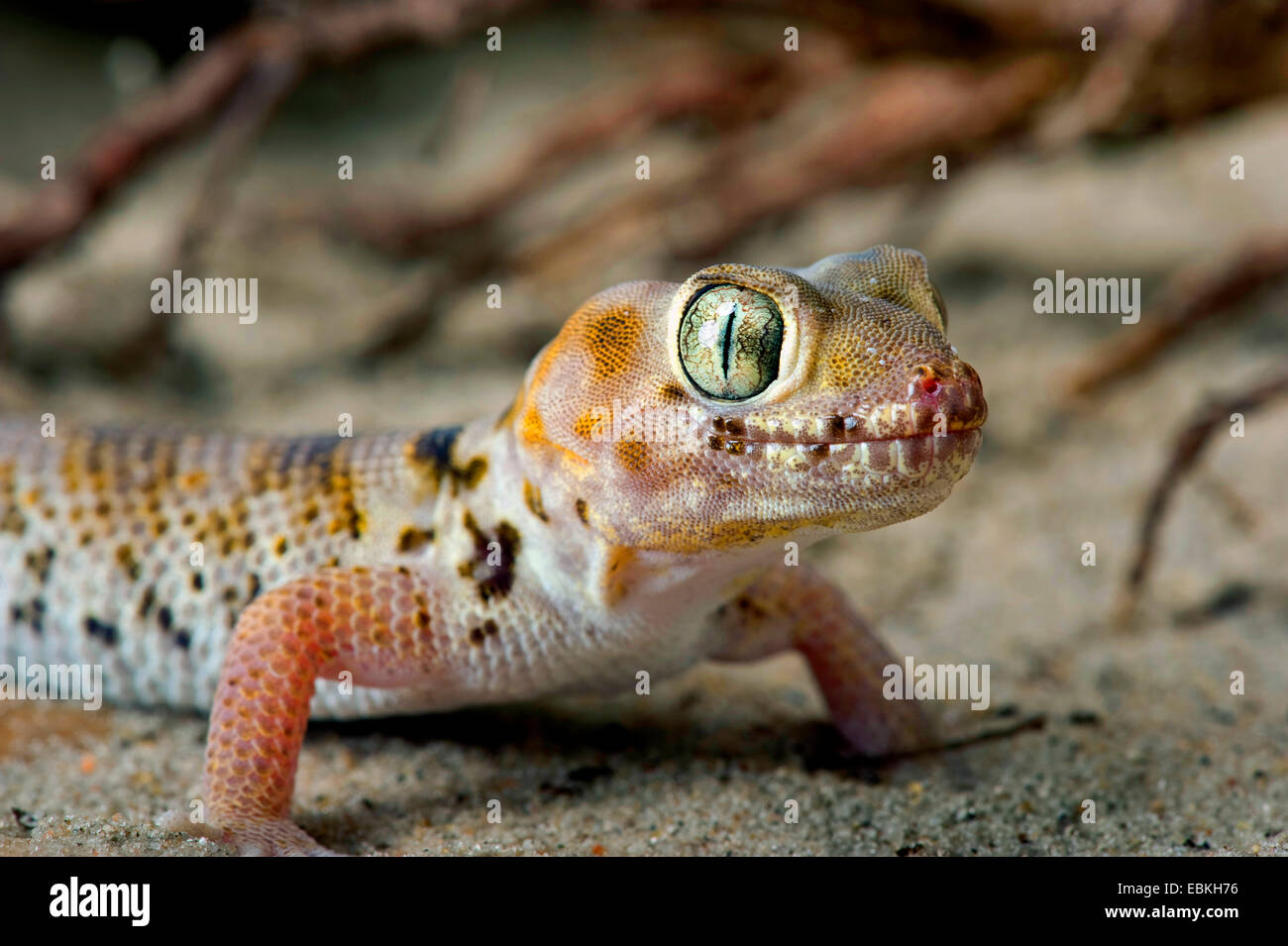 Web Footed Gecko (Teratoscincus microlepis), on sand Stock Photo
