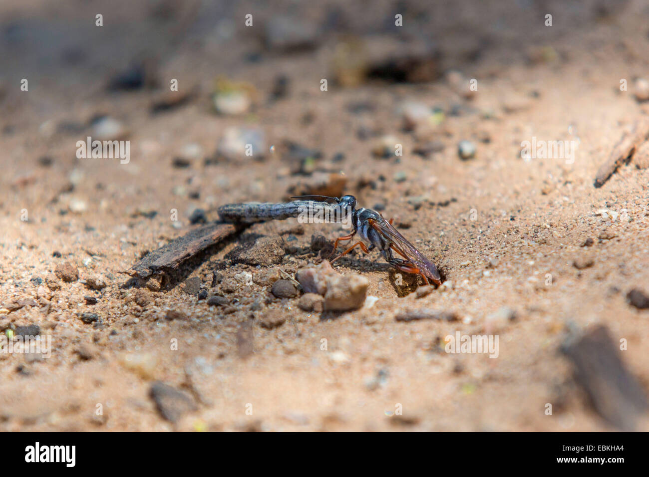 digger wasps, hunting wasps (Sphecidae, Sphegidae), pulling a caterpillar in a prey hiding-place, USA, Arizona, Stock Photo