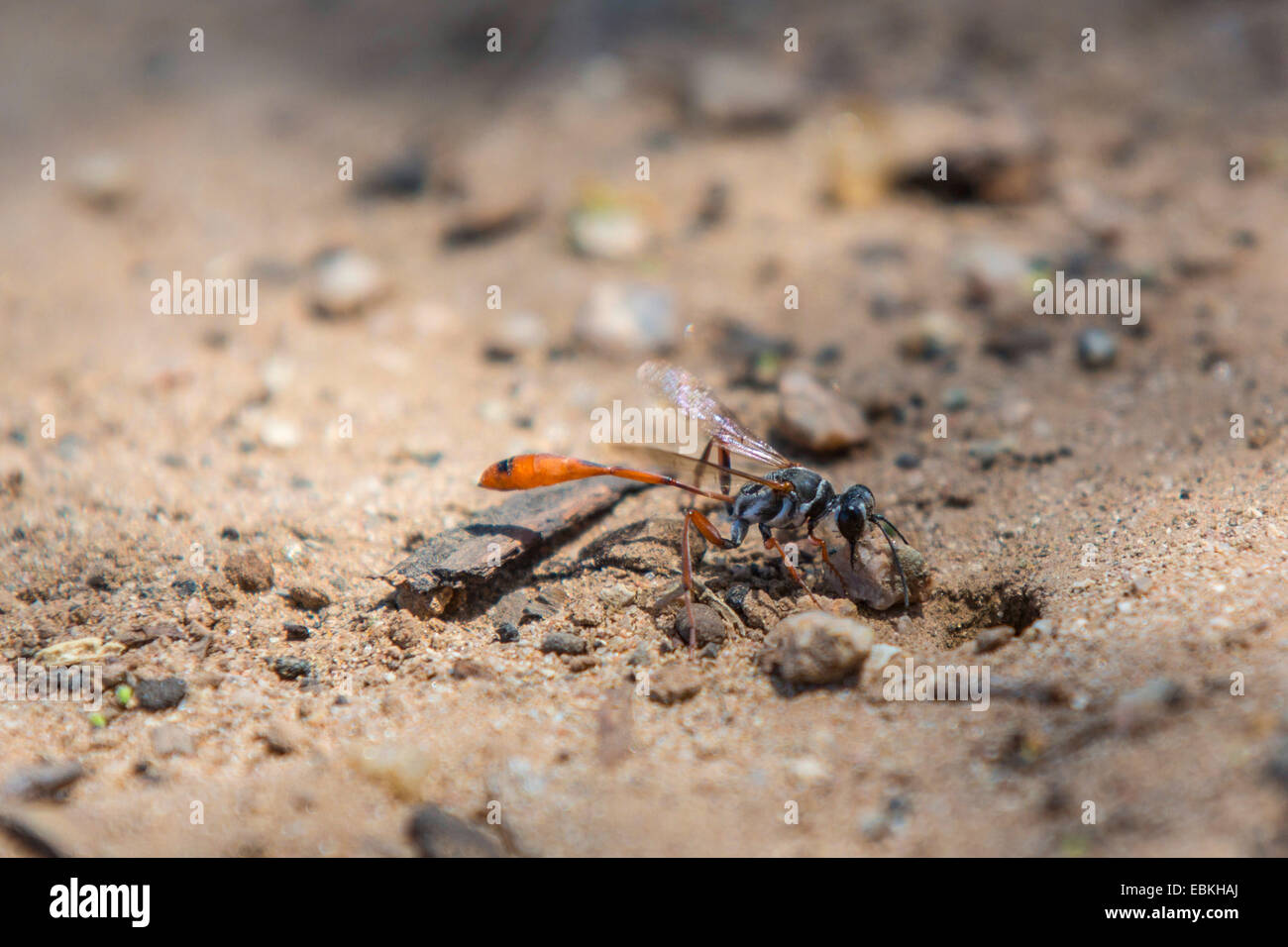 digger wasps, hunting wasps (Sphecidae, Sphegidae), closing a prey hiding-place with a stone, USA, Arizona, Phoenix - Stock Image
