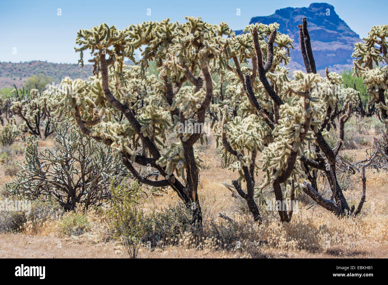 chain fruit cholla, Sonoran Jumping Cholla (Cylindropuntia fulgida), old plants with fruits, USA, Arizona, Phoenix - Stock Image