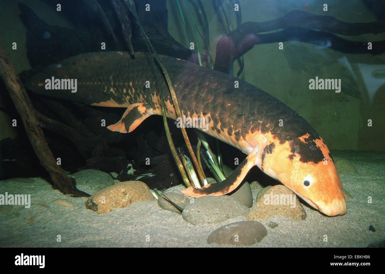 Australian lungfish (Neoceratodus forsteri) - Stock Image