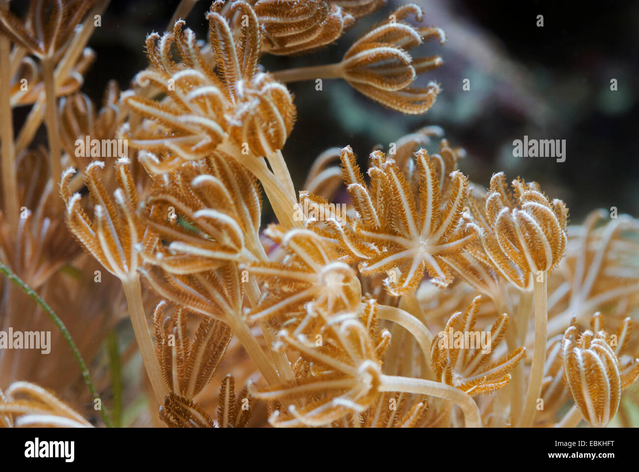 Pulse Coral (Xenia elongata), lateral view - Stock Image