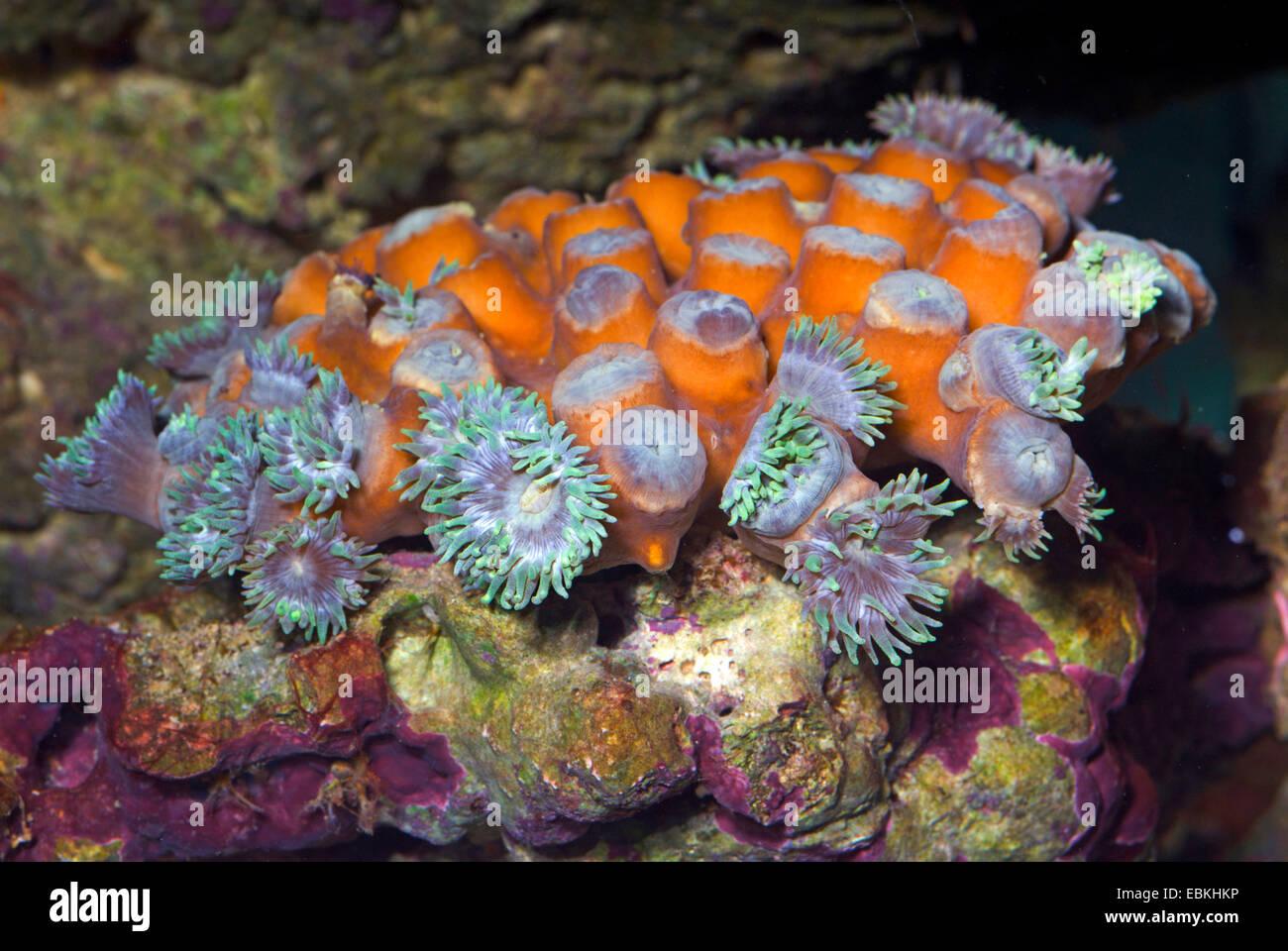 Stony corals (Duncanopsammia axifuga), colony - Stock Image