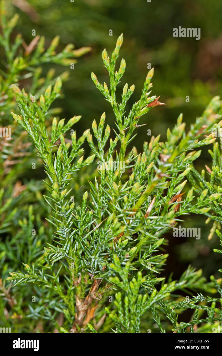 Sabina Juniper Stock Photos Sabina Juniper Stock Images Alamy