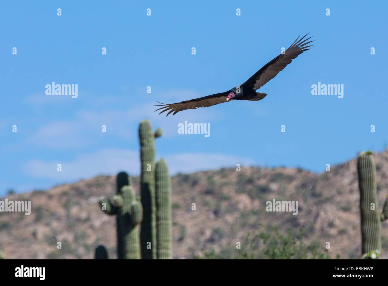 turkey vulture (Cathartes aura), flying in front of a Saguaro, USA, Arizona, Phoenix - Stock Image