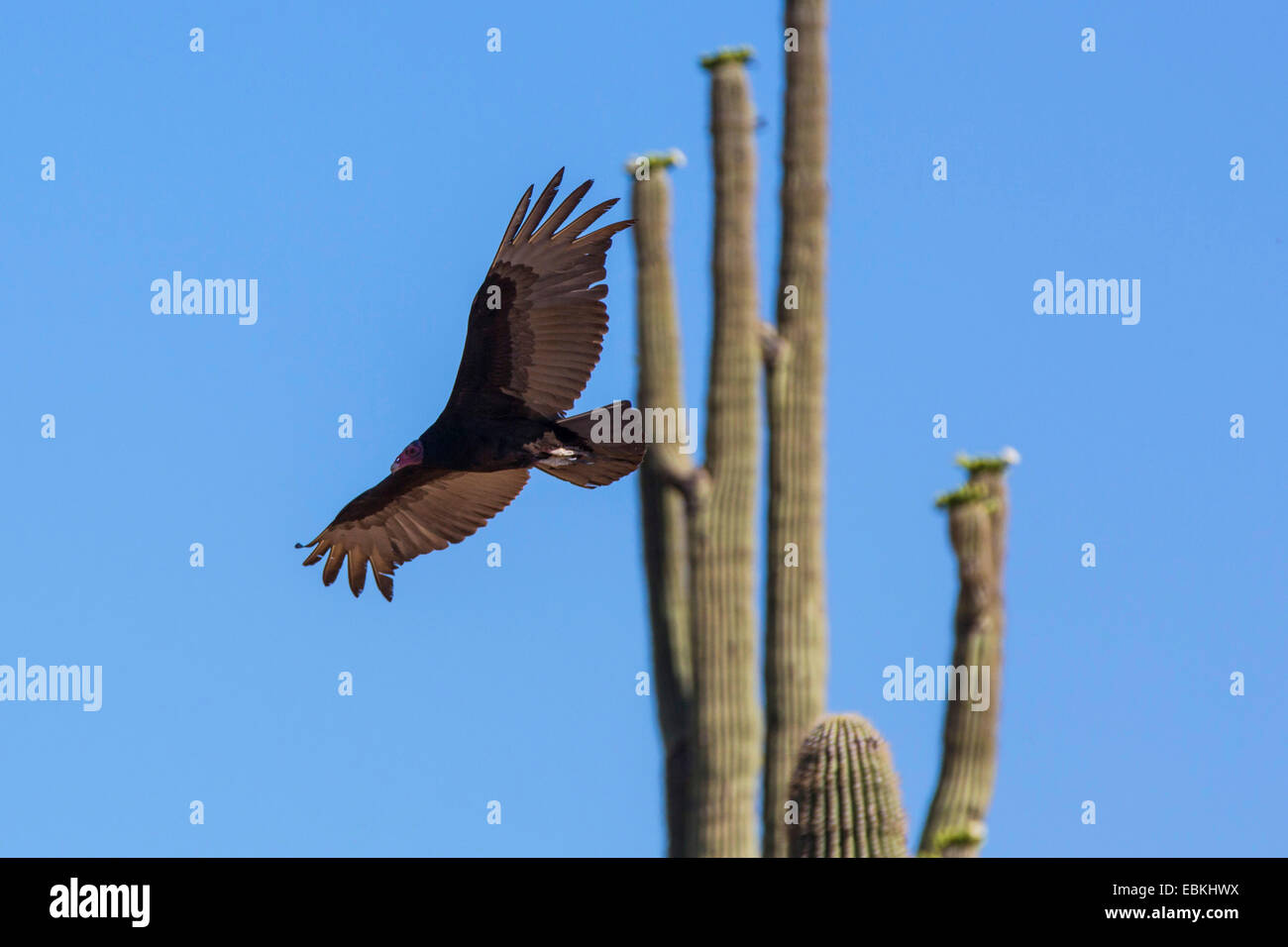 turkey vulture (Cathartes aura), flying on front of a blooming Saguaro, USA, Arizona, Phoenix - Stock Image