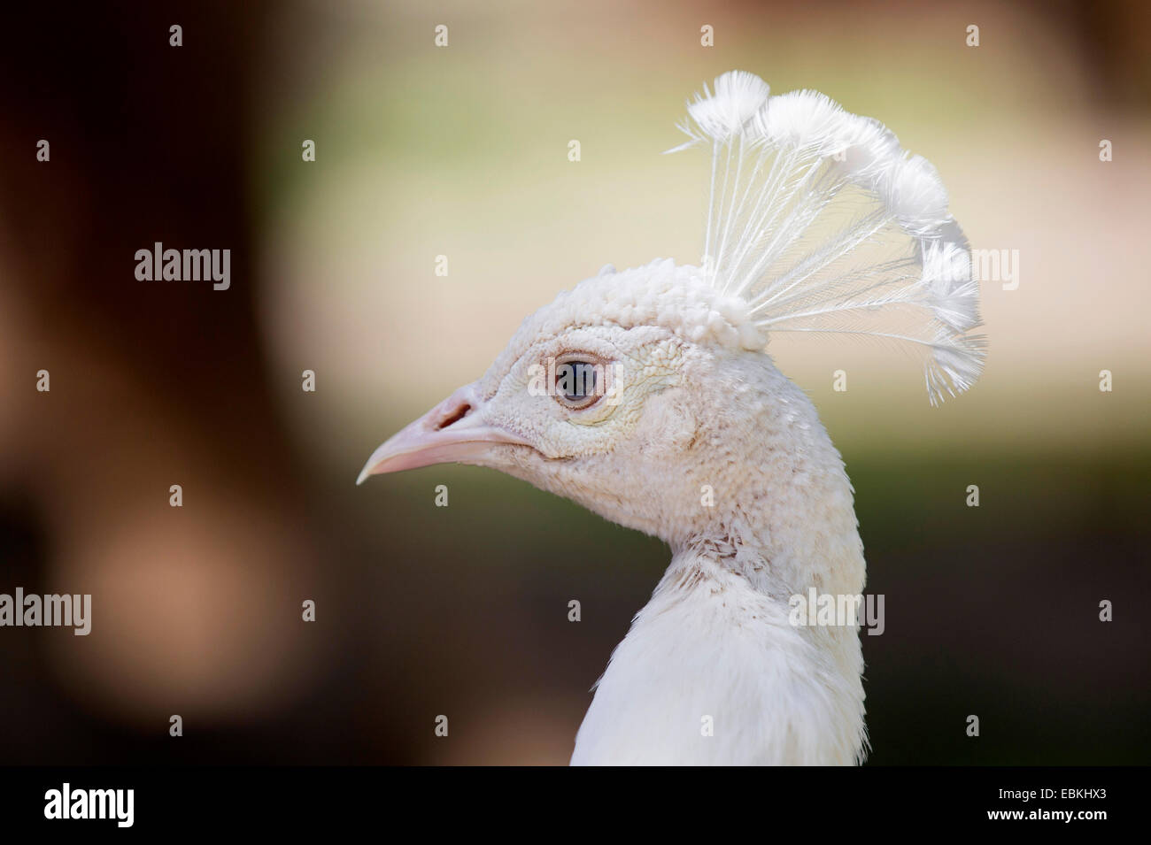 common peafowl, Indian peafowl, blue peafowl (Pavo cristatus), albino, portrait - Stock Image