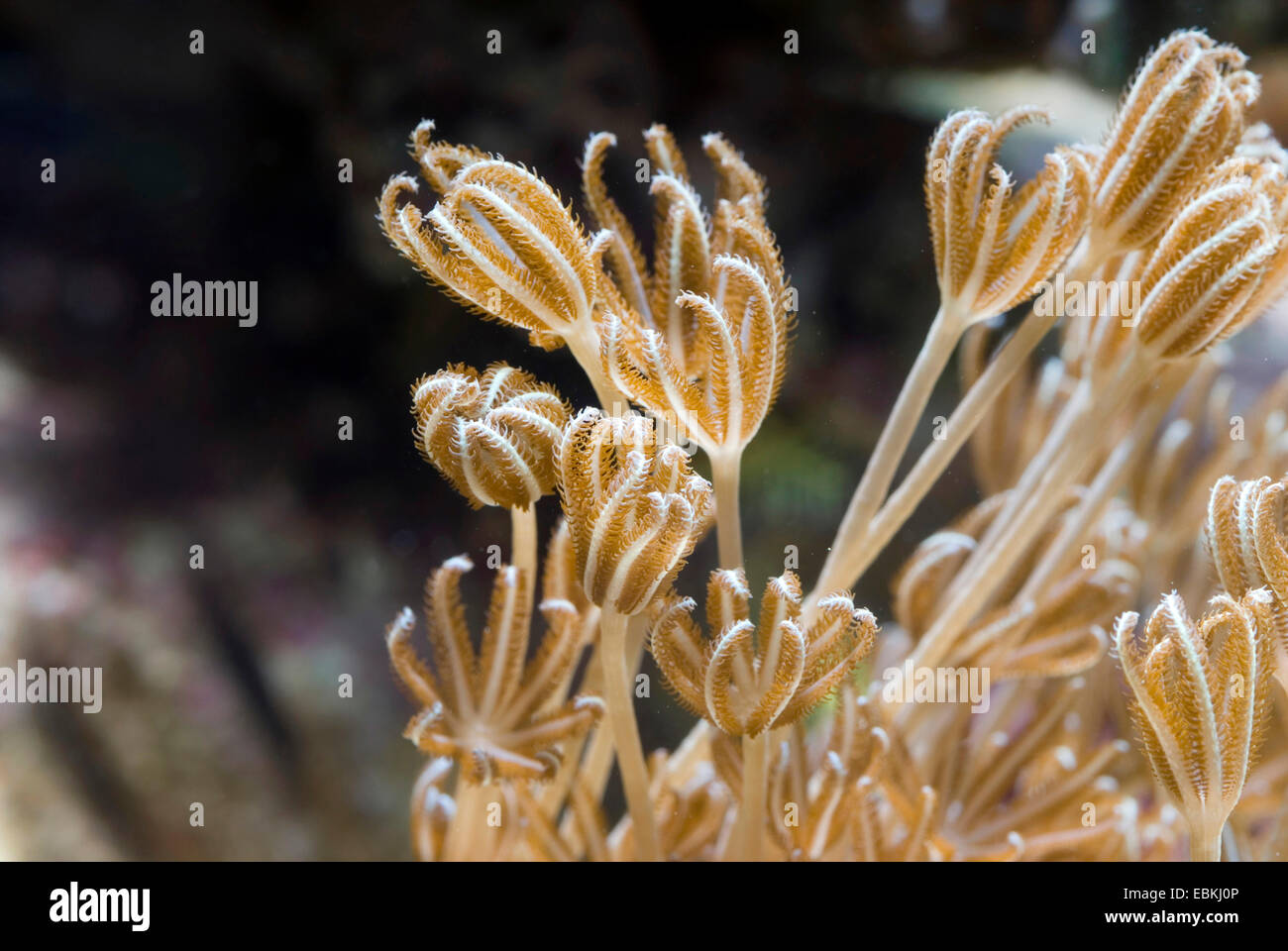Pulse Coral (Xenia umbellata), lateral view - Stock Image