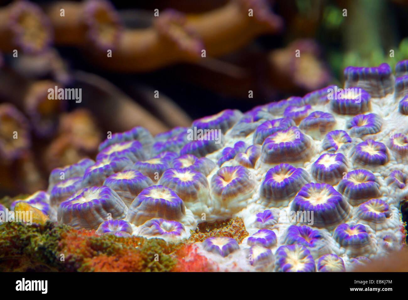 Flower Pot coral (Goniopora spec.), colonie Stock Photo