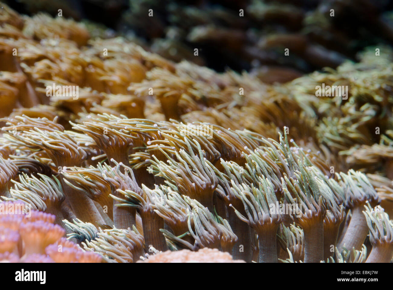 Flower Pot coral (Goniopora spec.), colony Stock Photo