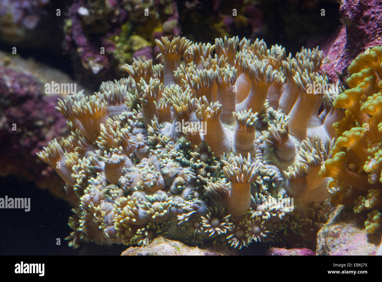 Flower Pot coral (Goniopora spec.), colony - Stock Image