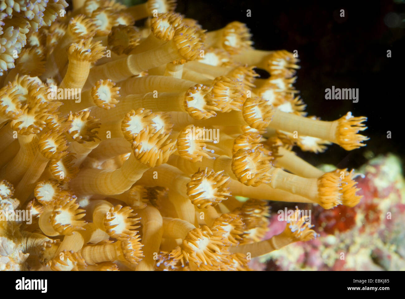 Flower Pot coral (Goniopora stokesi), colony - Stock Image