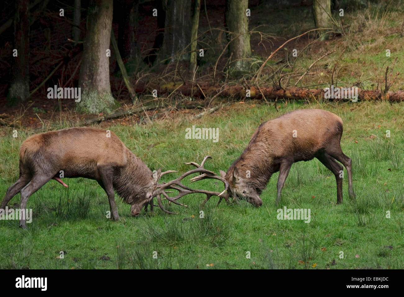 red deer (Cervus elaphus), two bulls in a rutting fight, Germany Stock Photo