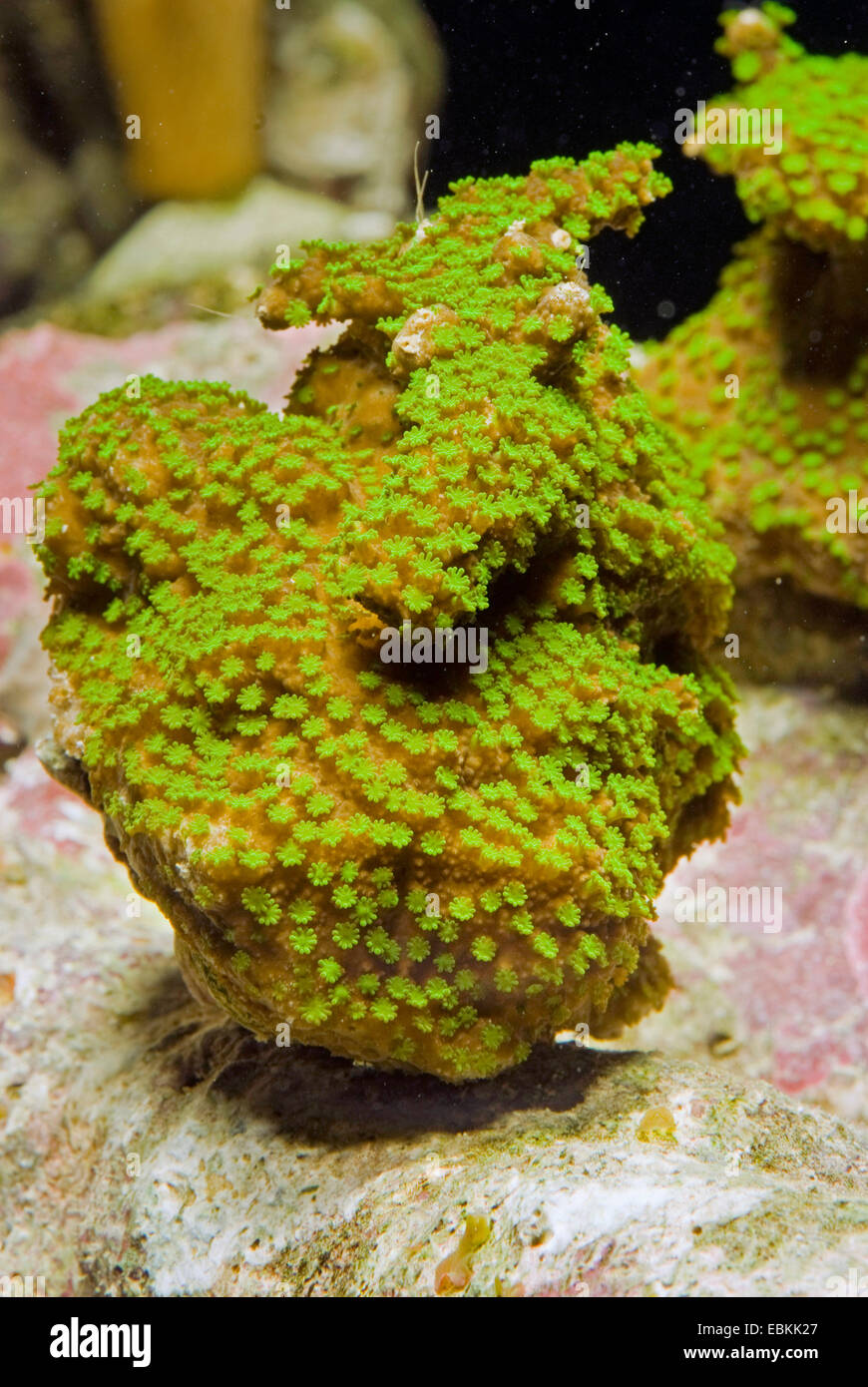 Stony Coral (Montipora hoffmeisteri), side view - Stock Image