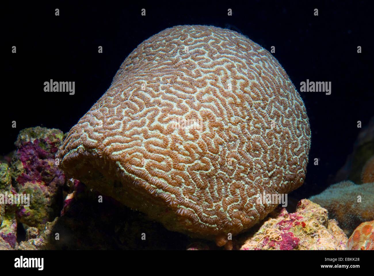 Stony Coral (Leptoria phrygia), side view - Stock Image