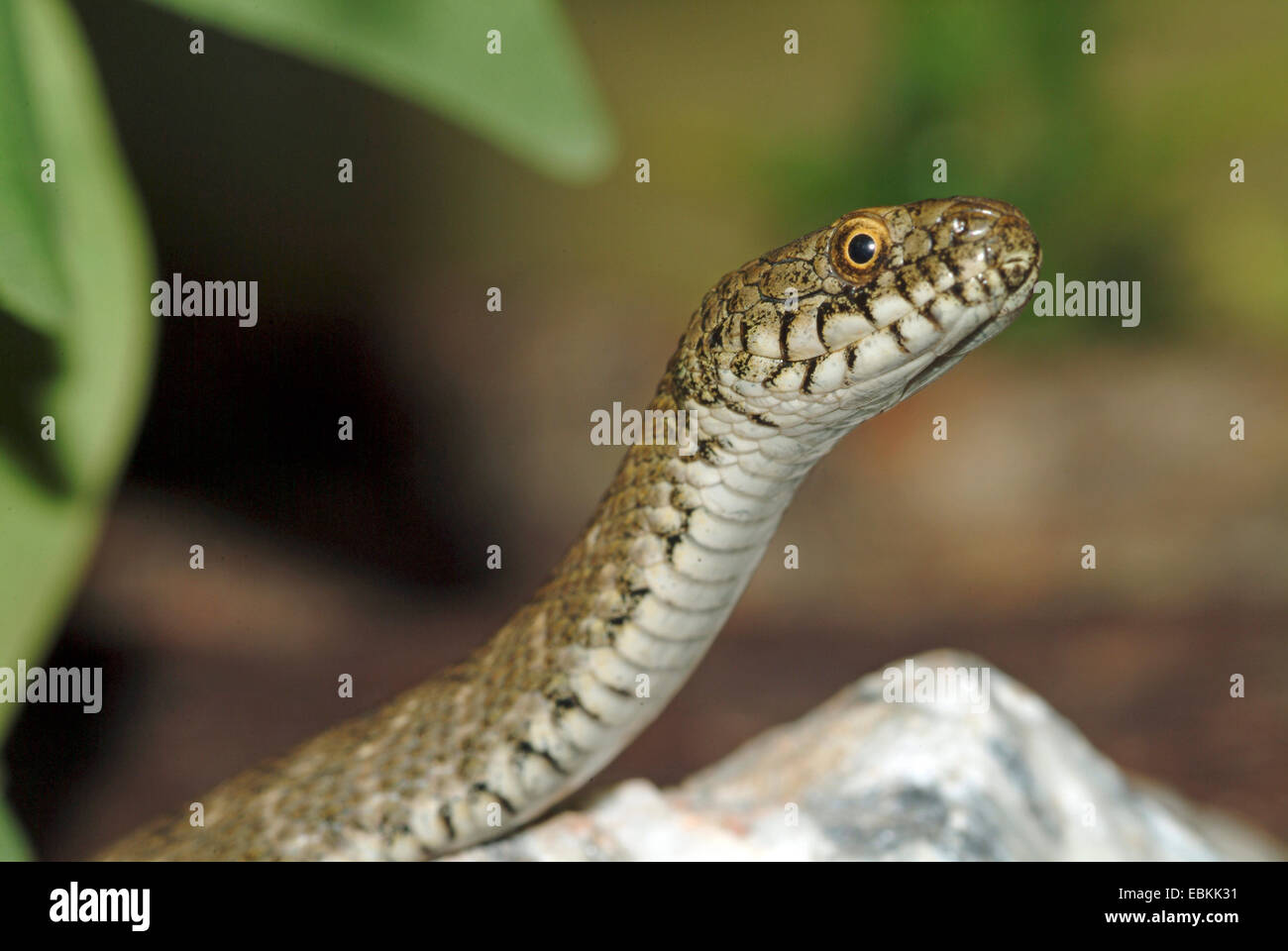 dice snake (Natrix tessellata), portrait, Germany - Stock Image