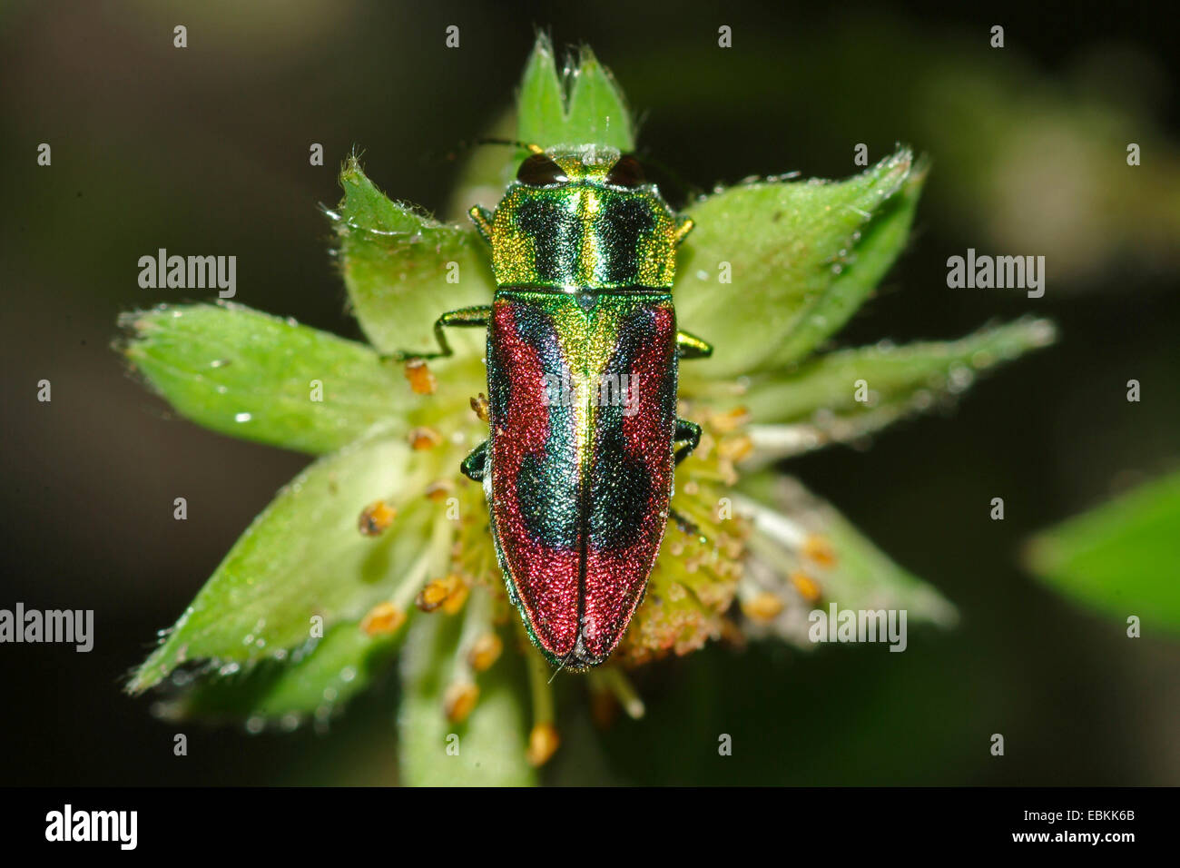 Jewel Beetle (Anthaxia candens), on a flower, Germany - Stock Image