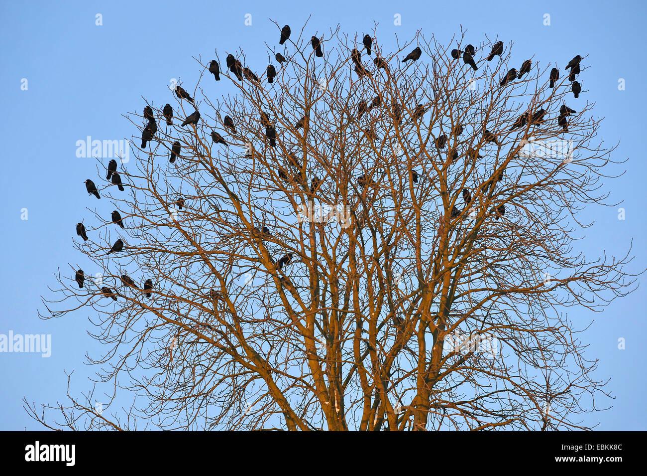 rook (Corvus frugilegus), flock sitting in a tree top, Germany - Stock Image