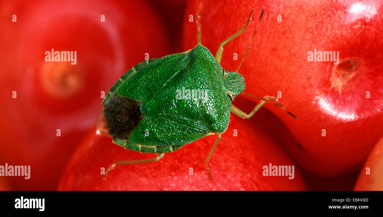 green shield bug, common green shield bug (Palomena prasina), sitting on picked cherries, Germany - Stock Image
