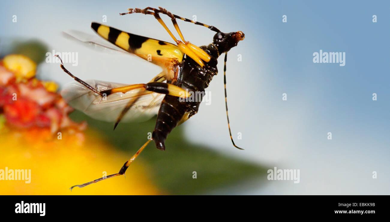Spotted Longhorn, Yellow-black Longhorn Beetle (Strangalia maculata, Stenurella maculata, Leptura maculata, Rutpela maculata), flying at a blossom, Germany Stock Photo