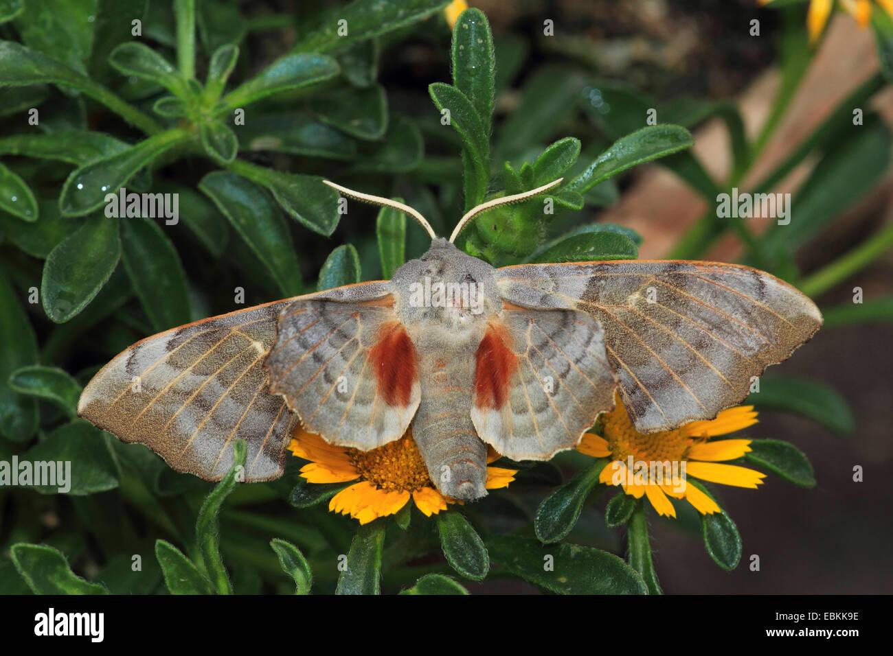 Poplar Hawkmoth (Laothoe populi), sitting on blossoms, Germany - Stock Image