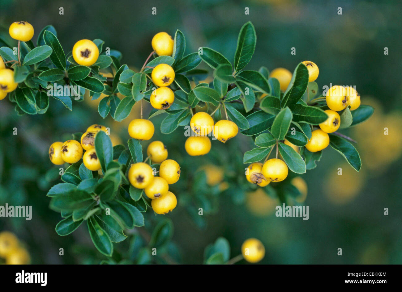 Asian firethorn (Pyracantha rogersiana), twigs with leaves and fruits Stock Photo