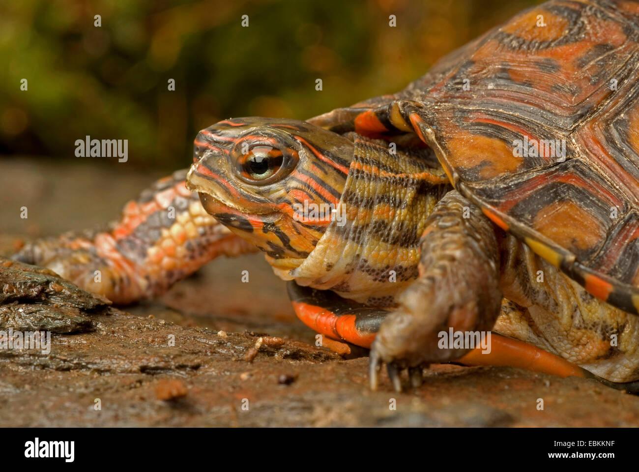 Costa Rica Painted wood turtle, Costa Rica Ornate wood turtle (Rhinoclemmys pulcherrima manni), portrait - Stock Image
