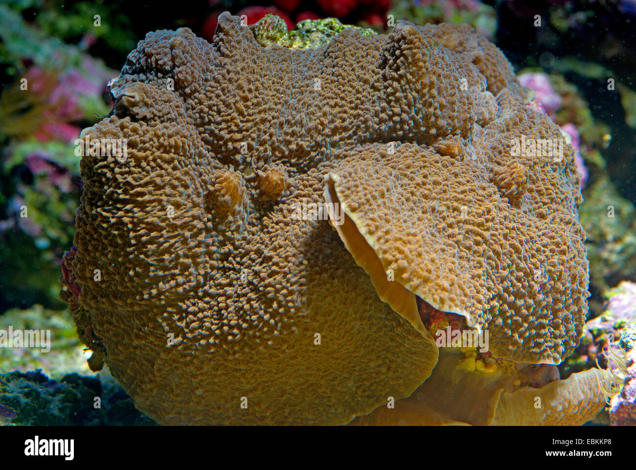Mushroom Anemone (Rhodactis spec.), colony - Stock Image