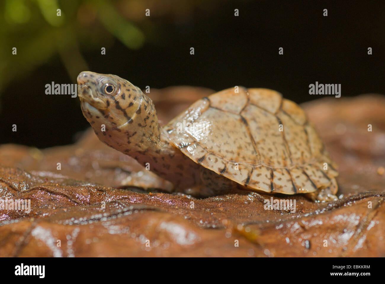Loggerhead musk turtle (Sternotherus minor, Kinosternon minor), juvenile - Stock Image