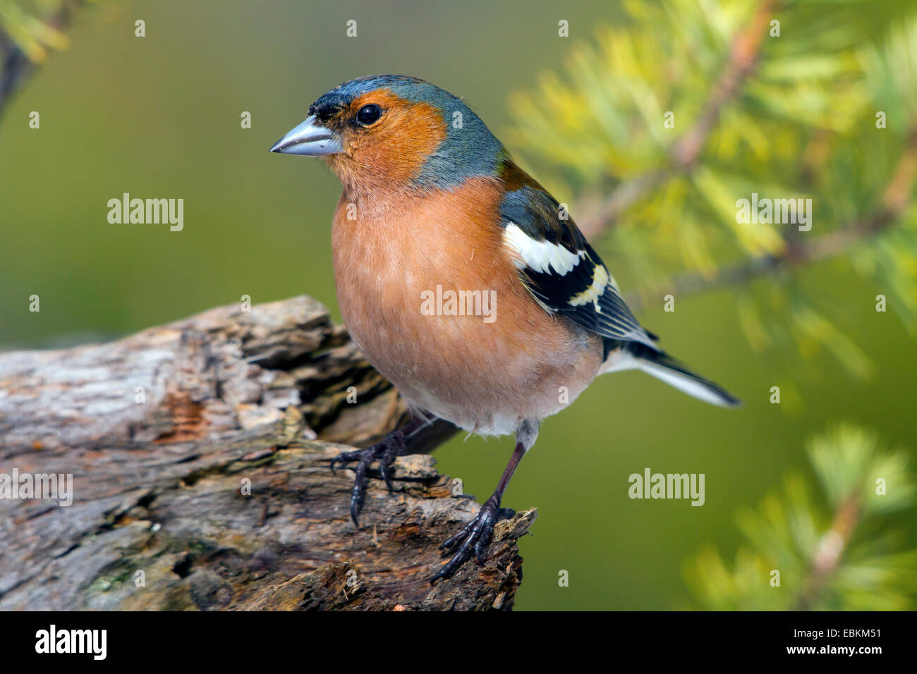 chaffinch (Fringilla coelebs), sitting on a root, Switzerland, Graubuenden, Arosa - Stock Image