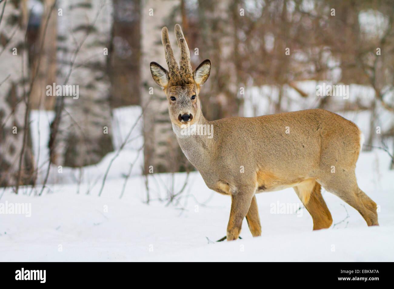 roe deer (Capreolus capreolus), in snow in winter forest, Sweden, Hamra National Park - Stock Image