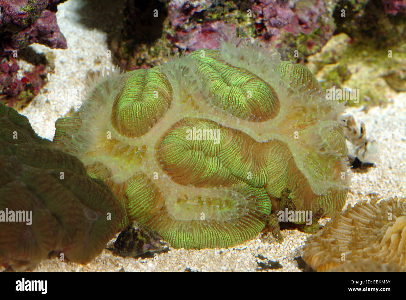 Stony Coral (Symphyllia spec.), colony - Stock Image