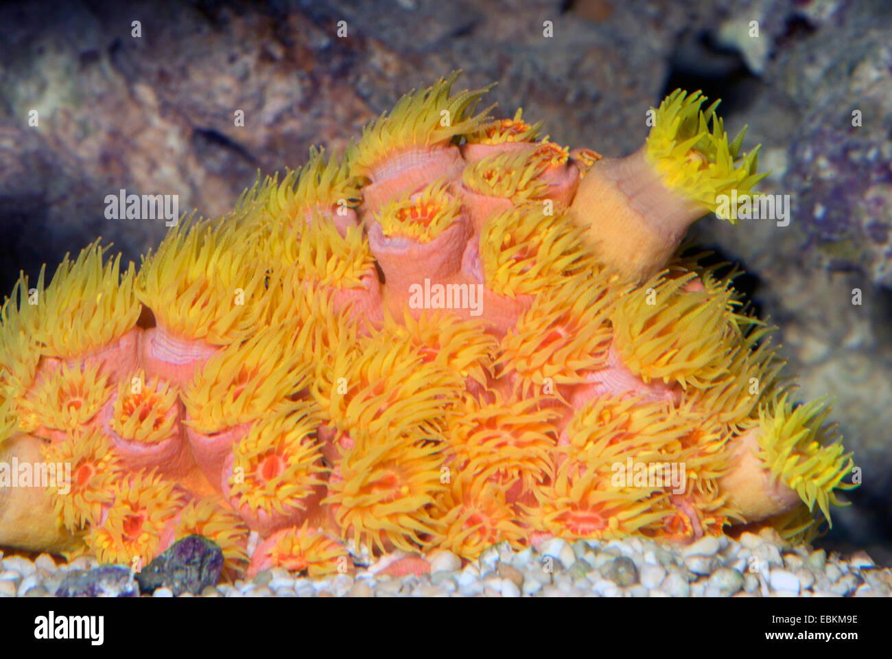 Stony Coral (Tubastrea faulkneri), colony - Stock Image
