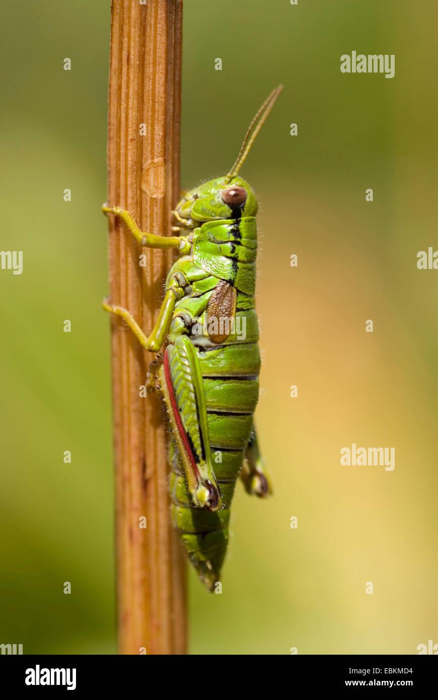 green mountain grasshopper,Alpine migratory grasshopper* (Miramella alpina), sitting at a sprout, Germany - Stock Image