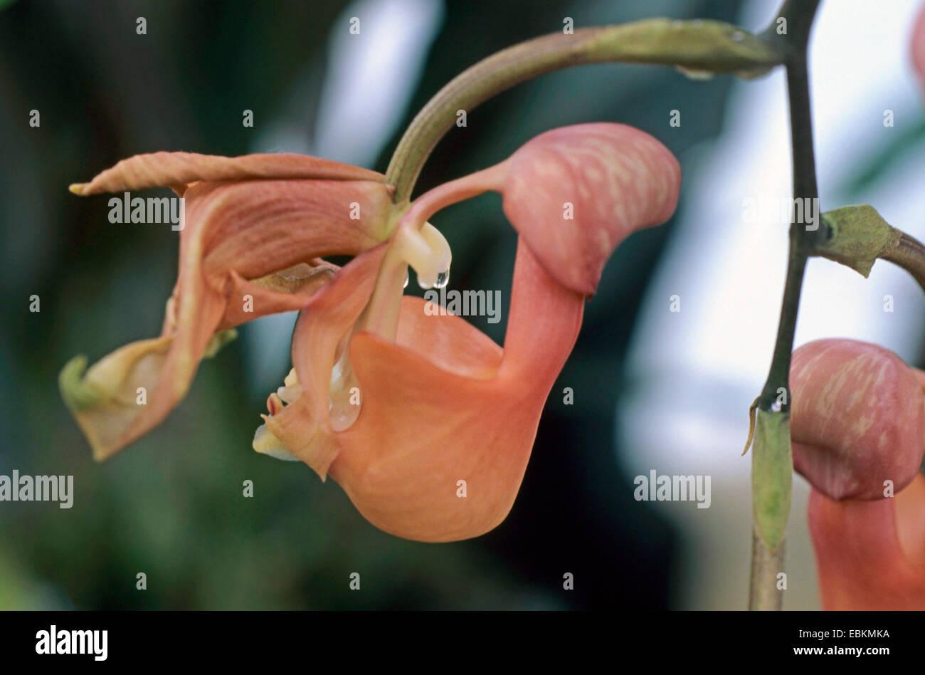 Bucket orchid (Coryanthes mastersiana), blooming - Stock Image