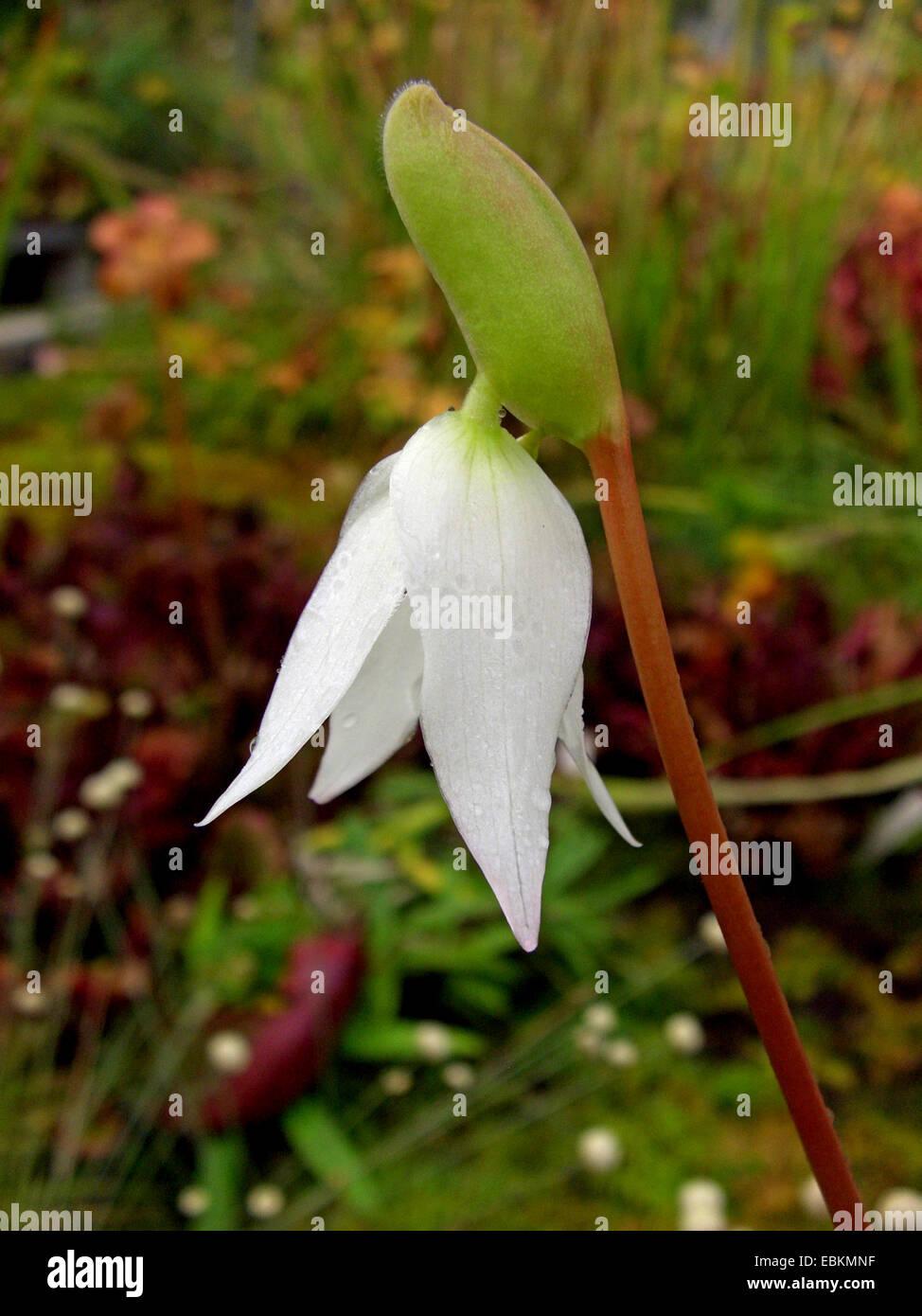 sun pitcher (Heliamphora nutans), flower - Stock Image