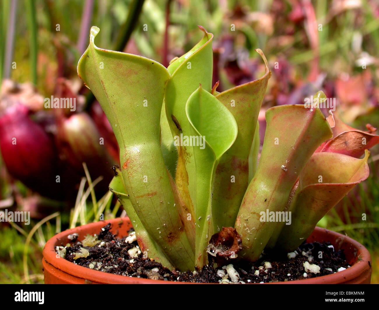 sun pitcher (Heliamphora nutans), carnivorous plant, pitcher traps - Stock Image