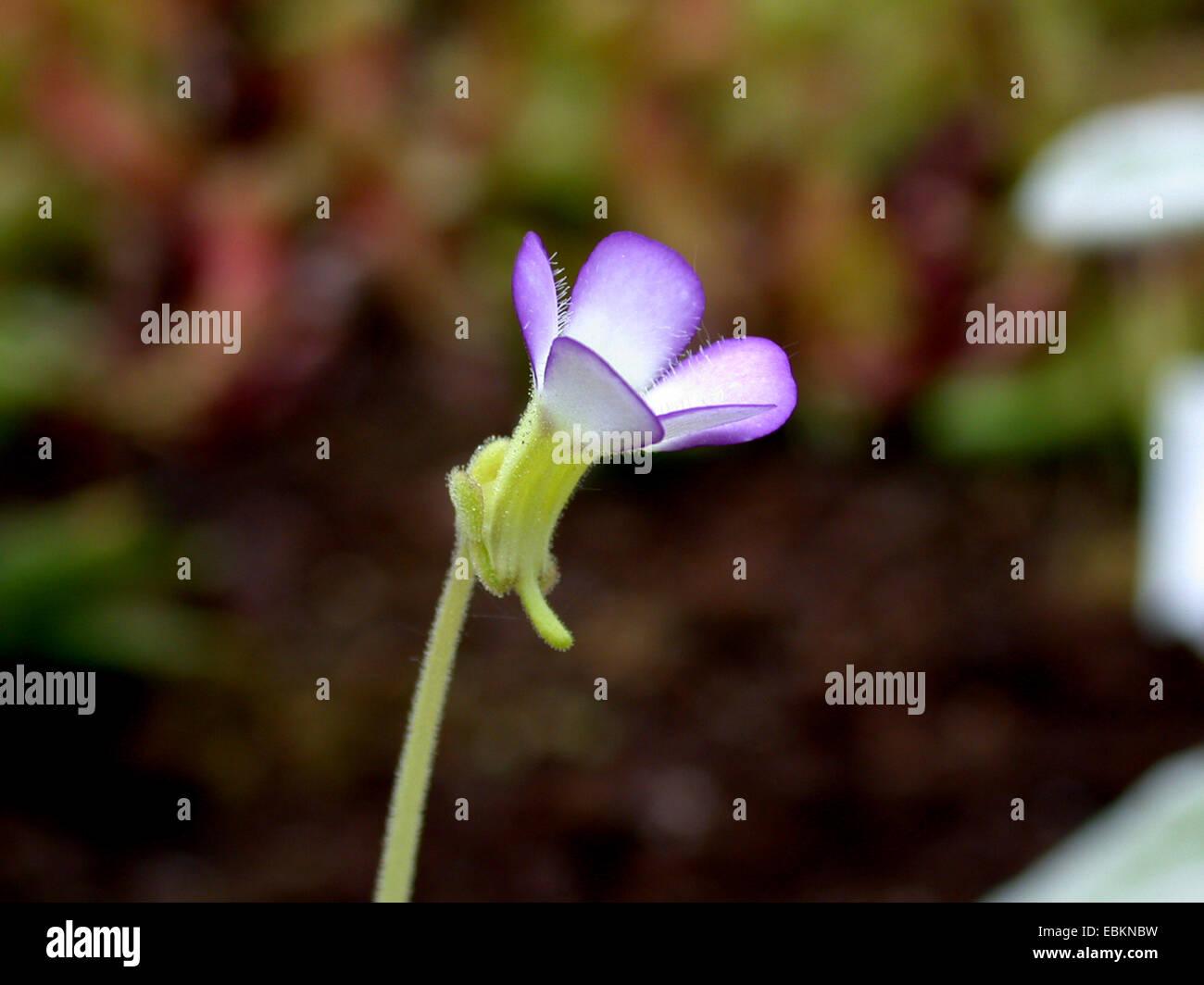 butterwort (Pinguicula agnata), flower - Stock Image