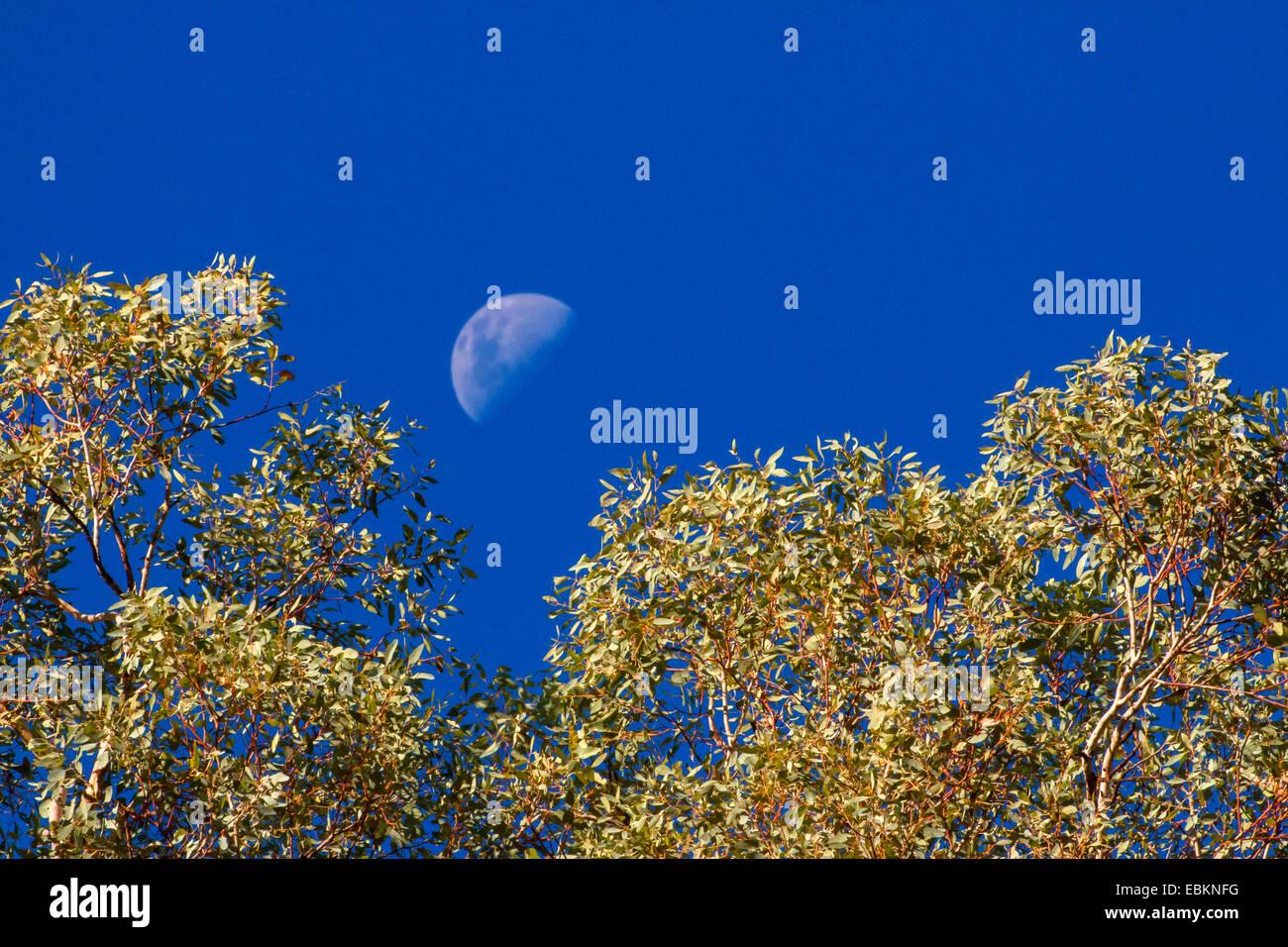 half moon over eucalyptus, Germany, Western Australia, Karijini National Park - Stock Image