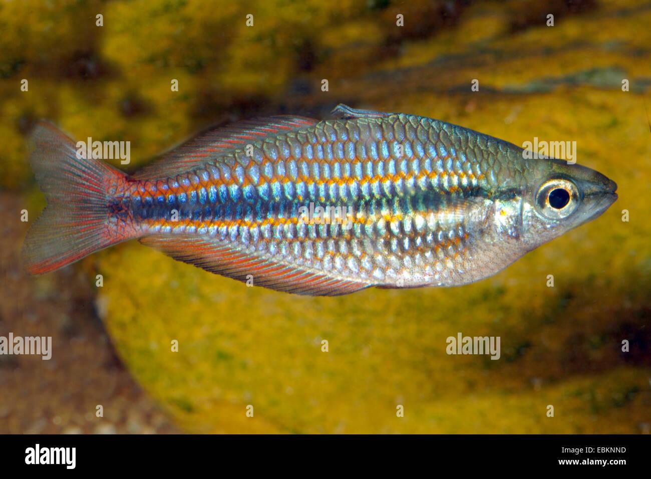 Goyder river rainbowfish (Melanotaenia trifasciata), full length format - Stock Image