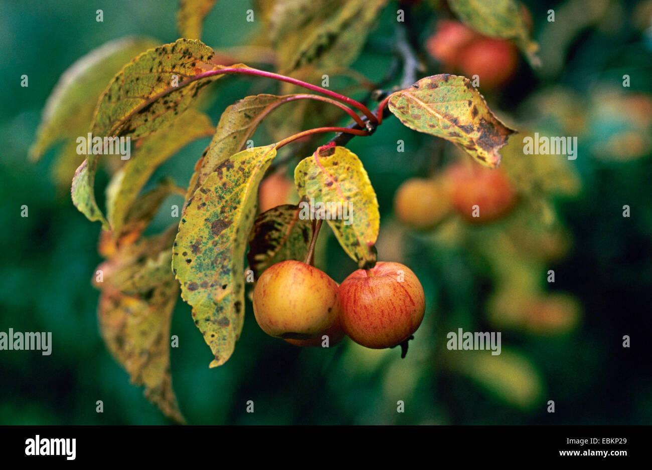 apple tree (Malus 'Professor Sprenger', Malus Professor Sprenger), cultivar Professor Sprenger - Stock Image